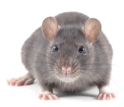 Pest Control Services in Hertford